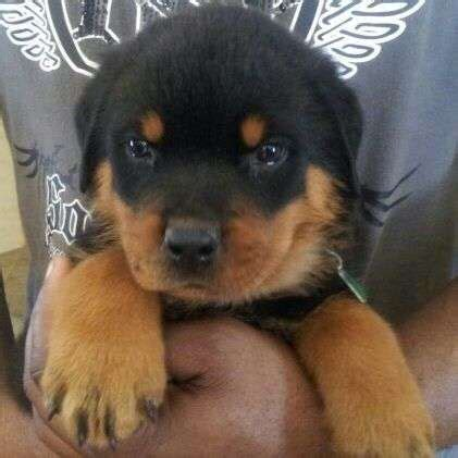 rottweiler for sale philippines 2016 rottweiler puppies for sale adoption from cebu cebu city adpost classifieds