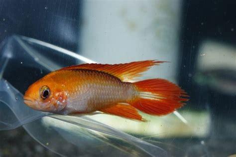 Ikan Apistogramma Indukan apistogramma agassizi quot golden quot freshwater fish