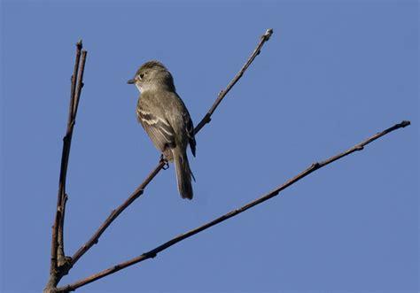 maryland biodiversity project least flycatcher