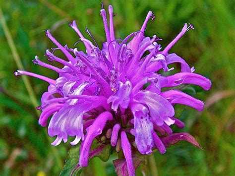 Pretty Plant Names by How To Grow And Use Bee Balm Mermaids And Cashmere