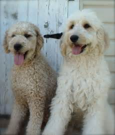 Goldendoodle Hair Types by These Are Goldendoodles But They Look Like My Two