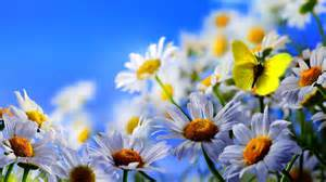 Daisy flowers yellow butterfly blue sky high definition wallpapers