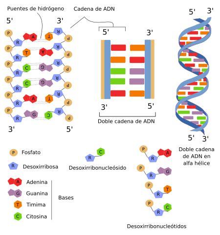 union de cadenas de adn la c 233 lula 4 n 250 cleo cromatina atlas de histolog 237 a
