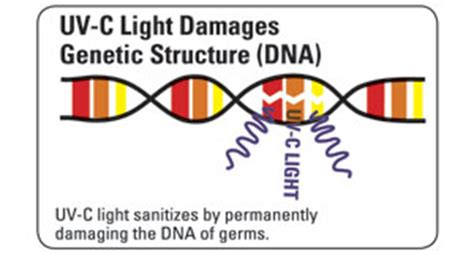 Uv Light Damages Dna By Causing by Steridesign Uv C Technologysteridesign