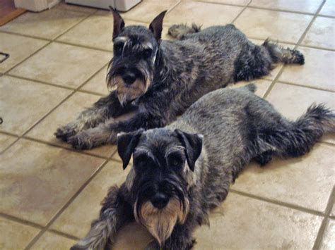 standard schnauzer puppies is cats color blind e vero che i cani vedono in bianco e nero il clan pet