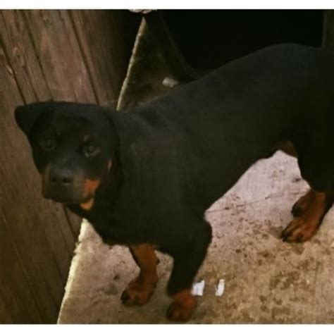 rottweiler rescue new orleans ino robert rottweiler stud in new orleans louisiana