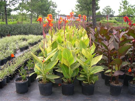 Herbs Indoors by Canna Lily Bengal Tiger