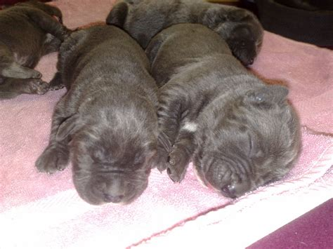 bandog puppies for sale bandog puppies australian mastiff neopolitan bandogge puppy aussie neo townsville
