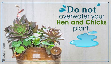 how to care for the hardy yet exquisite hen and chicks plant