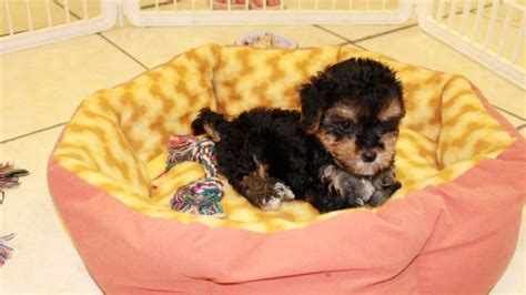 yorkie poos for sale in ga lovable yorkie poo puppies for sale in atlanta ga at atlanta columbus johns