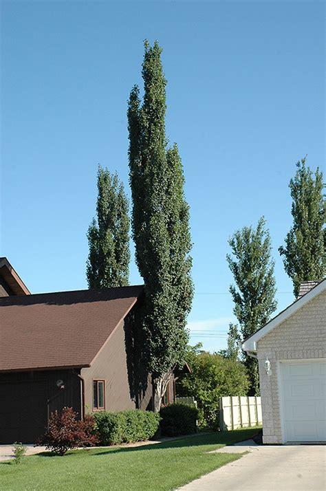 columnar swedish aspen populus tremula erecta  inver