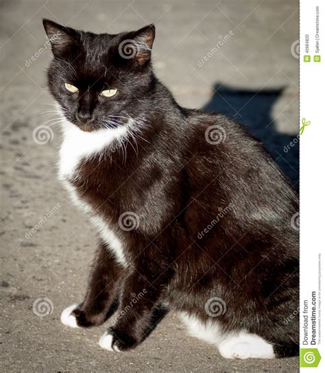 Cat Ct010 Brown Yellow brown cat with white socks and bib on sidewalk stock photo image 40984820