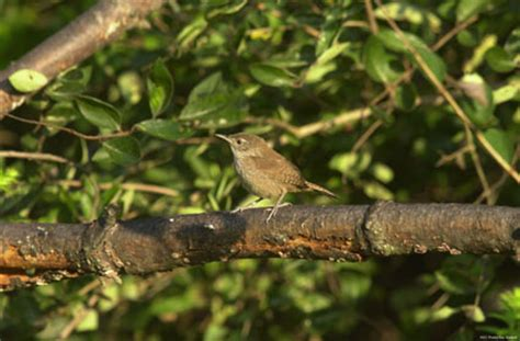 southeastern outdoors house wren