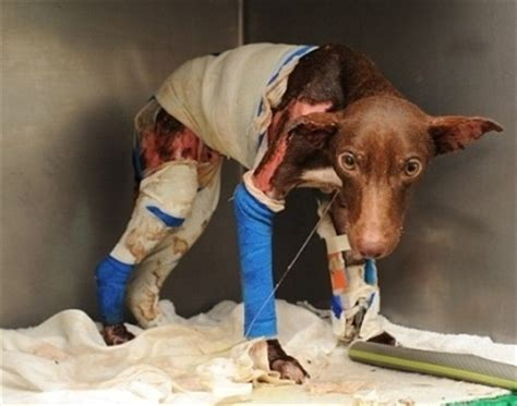 poor puppy who would do something 2 this poor against animal cruelty photo 20570045