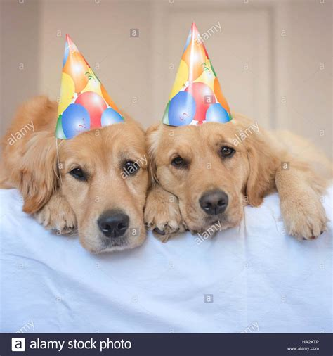 golden retriever hat two golden retriever dogs wearing hats stock photo royalty free image