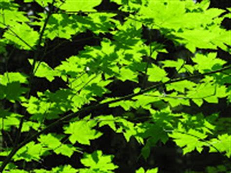 maple tree allergies allergena allergy relief for where you live allergies to maple trees
