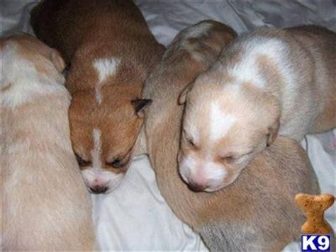 canaan puppies for sale canaan puppies for sale 1942