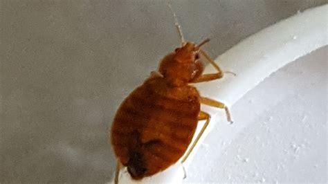 entreprise punaise de lit traitement anti punaises de lit grasse extermination
