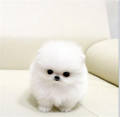 snowball pomeranian teacup puppy omg it s a snowball is it real val s cuddly corner