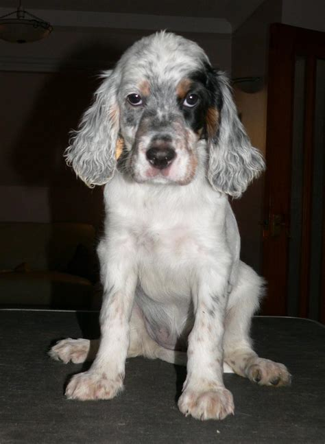 english setter dog images dogs info english setter puppy