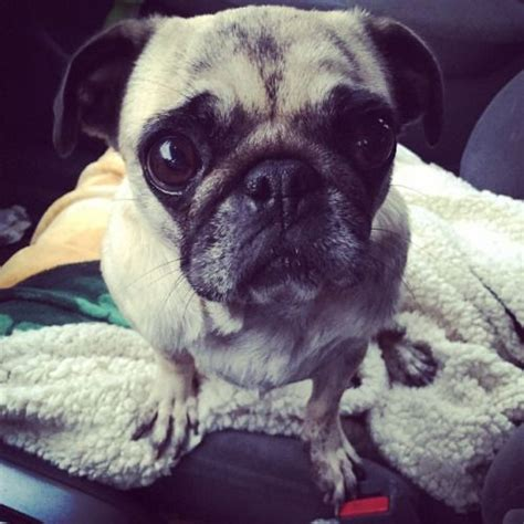 early pugs 17 best images about pug on pug awesome and we it
