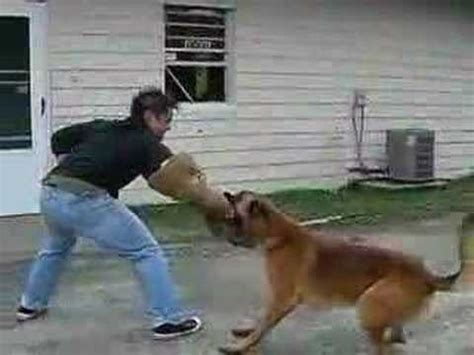 the hammer why dogs attack us and how to prevent it books k9 attack belgian malinois