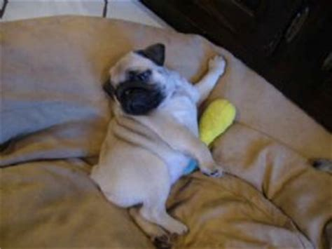 black pug breeders new york pug puppies in new york