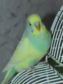 budgie colors parakeet colors parakeets