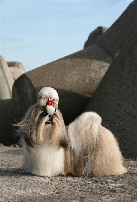 shih tzu breed info shih tzu breed information pet365