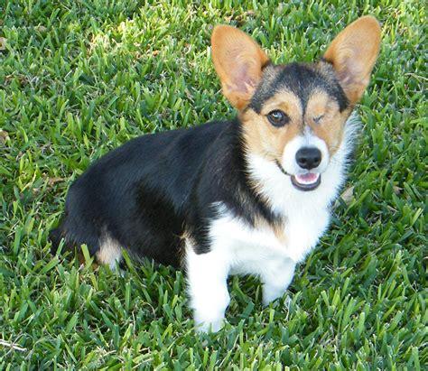 black corgi puppies black and white corgi puppies pictures to pin on pinsdaddy