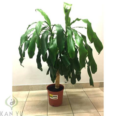 Zimmerpflanzen Feng Shui by Drachenbaum Quot Dracaena Fragrans Massangeana Quot 5 90