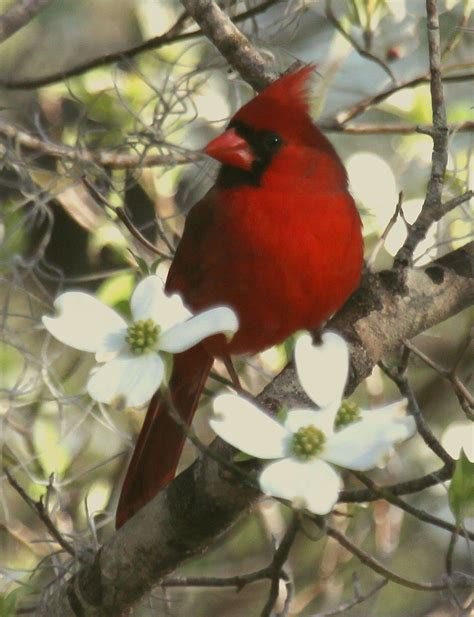 beautiful northern cardinal sitting in bare dogwood tree about the image cardinal sitting in the dogwood flowers cardinal dogwood