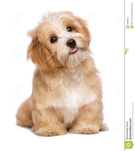 perro havanese el perro de perrito havanese rojizo de la sentada hermosa est 225 mirando hacia arriba