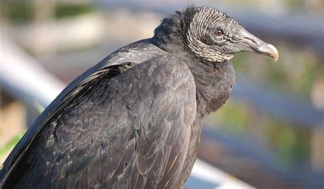 black vulture kills increasing in ohio farm and dairy