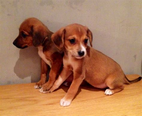 a bee puppies a bee puppies for sale ready now warrington cheshire pets4homes