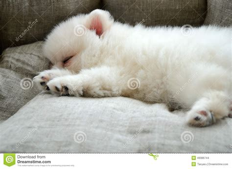 pomeranian bed pomeranian puppy sleeping in the bed stock photo image 49386744