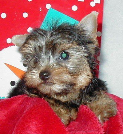 puppies for sale lancaster ca yorkie puppies so california for sale adoption from lancaster los angeles adpost