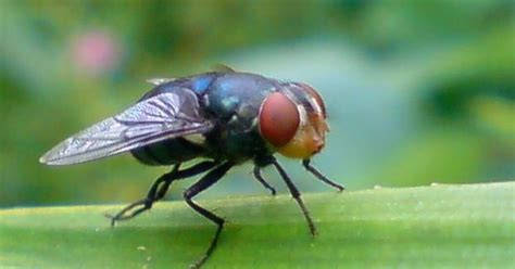 lalat bibit kacang ophiomya phaseoli pupuk npk