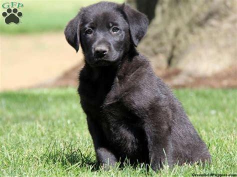 german sheprador puppies 17 best images about dogs on beautiful dogs german shepherd puppies and