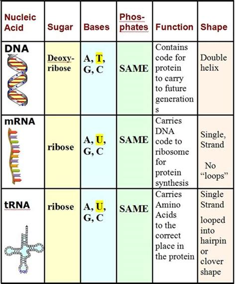 Worksheet On Dna Rna And Protein Synthesis by Curran Dna And Protein Synthesis Worksheet Key
