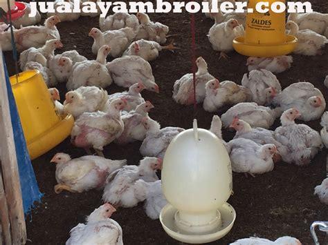 Jual Bibit Ayam Broiler Di Bogor jual ayam broiler di cibinong bogor jual ayam broiler