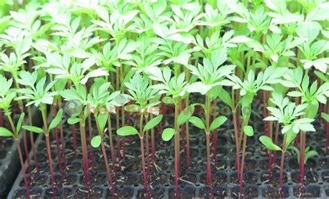 Pupuk Untuk Bunga Marigold budidaya marigold benih pertiwi