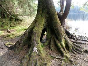 large trees master marf this is a big tree in my opinion
