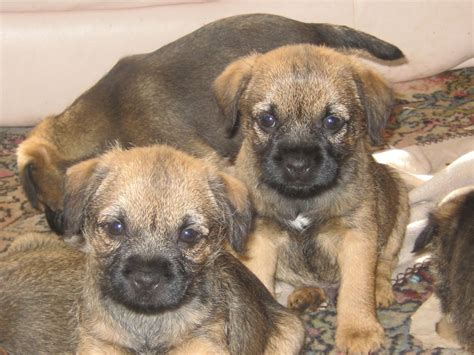 terrier puppy for sale border terrier puppies for sale heywood greater manchester pets4homes