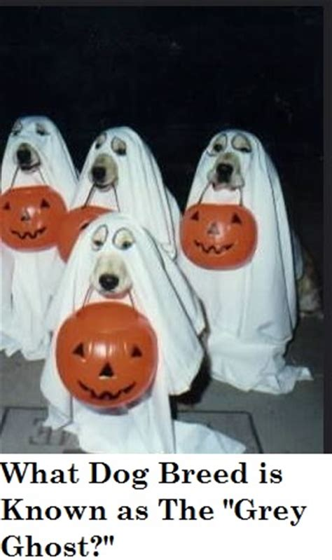 why are dogs called dogs why are weimaraners called ghost dogs daily discoveries