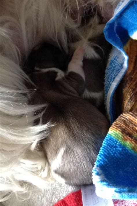 breed standard shih tzu standard shih tzu puppies bradford west pets4homes