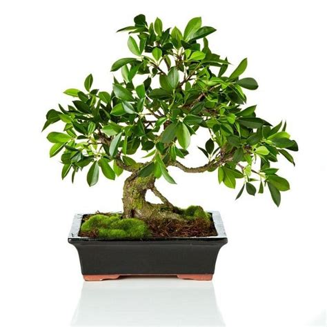 17 best images about bonsai on gardens trees