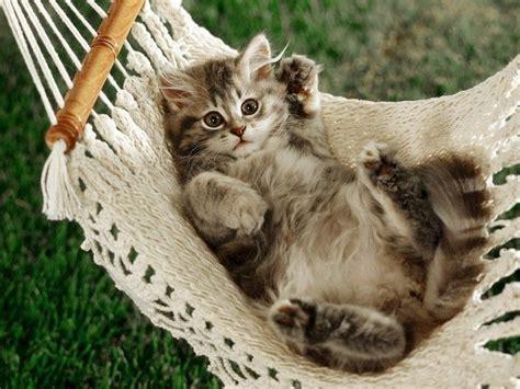 Kitten In Hammock cat in hammock cat kedi chat