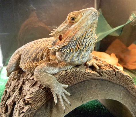 bearded dragon heat l do bearded dragons need heat at night vivarium world