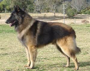 belgian shepherd wolf hybrid groenendael shepherd dog belgian shepherd dog